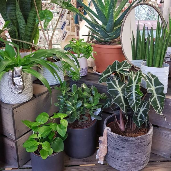 Indoor Plants for sale at Noyces